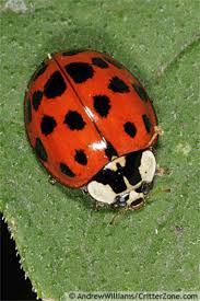Tiny Red Bugs On Patio by Beetle Animal Asian Lady Beetle Our Thanks To Critterzone