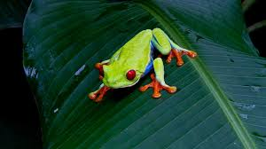 red eyed tree frog facts and pictures national geographic kids