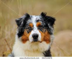 australian shepherd yorkie puppies yorkshire terrier puppy 7 weeks plays stock photo 56916895