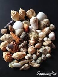 Assorted Seashells Pair Of Matching Glycymeris Seashells European Bittersweet Clam