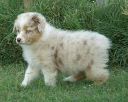 australian shepherd dog puppies australian shepherd dog photo australian shepherd puppy blue