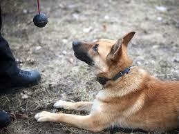 belgian shepherd edmonton newest canine unit recruits a perfect match ottawa citizen