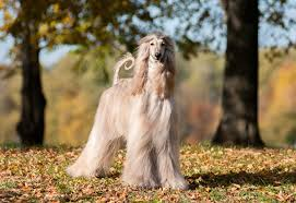 afghan hound grooming styles how to groom your dog u0027s coat general hygiene dogs guide