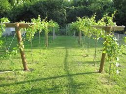 growing grapes in my vineyard