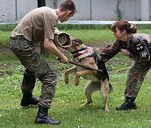 belgian malinois k9 attack police dog wikipedia