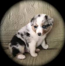 double r australian shepherds australian shepherd puppies for sale lancaster puppies