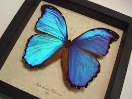 morpho m alexandrovna framed butterflies and insects