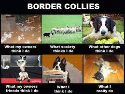 Border Collie Meme - best 25 border collie humor ideas on pinterest border collies