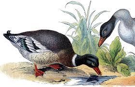 vintage mallard duck image the graphics fairy