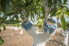 mango trees articles gardening know how