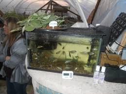 backyard aquaponics for raising tilapia photos how to build