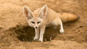 fennec fox facts about foxes