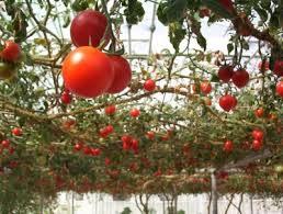 How To Grow Green Beans On A Trellis Tomato Trellis Ideas U2013 How To Make An Overhead Trellis For Tomato