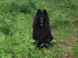 belgian sheepdog litters patriotic litter lisa atom bel royale belgian sheepdogs