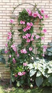 mandevilla climbing plant i have planted one of these every