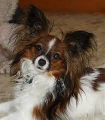 papillon dogs papillon breed info pictures petmd