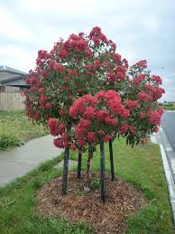 corymbia ficifolia flowering gum wildfire massinger st
