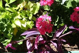 flagstaff native plant and seed easy color in geranium purple heart and sweet potato planter