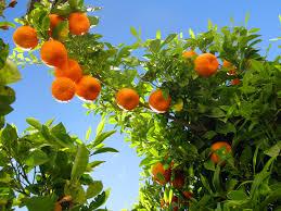 file ronda 08 orange tree 4579322771 jpg wikimedia commons