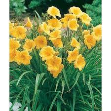 stella daylily daylily stella d oro diploid seeds hemerocallis seeds