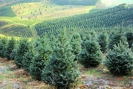 the tree allergy phenomenon live trees carry