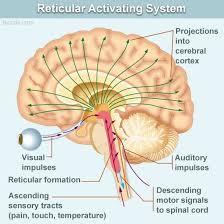 Gross Brain Anatomy Brain Evolution U2014 Brain Anatomy U2014 Early Structures And Systems