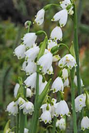 Snowflake Flower - 324 best garden flower bulbs images on pinterest flower