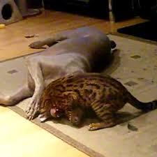 weimaraner vs afghan hound bengal and weimaraner dogtime