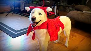 lobster halloween costumes 10 cool dog halloween costumes test youtube