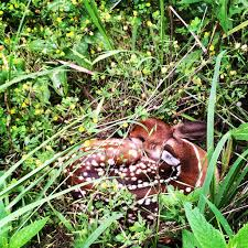 this sleeping baby deer i stumbled upon while hiking rebrn com