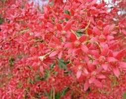 real world gardener nsw christmas bush in talking flowers