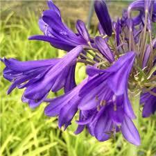 purple flowers purple flowers coblands online garden centre