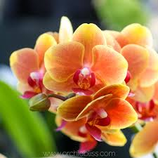 buy an orchid where to buy orchids top quality best price orchid bliss