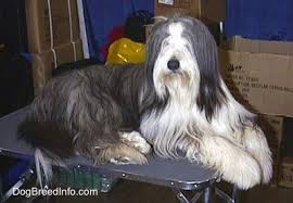 bearded collie brown bearded collie dog breed information and pictures