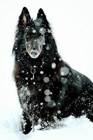 belgian sheepdog breeders near me wandering the good ツ dogs photography of animals pinterest