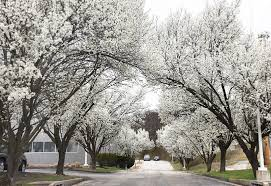 mdc discourages invasive ornamental pear tree central mo