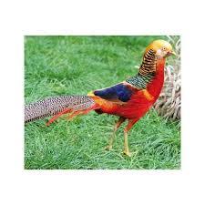 golden pheasants for sale sydney strathfield pet shop