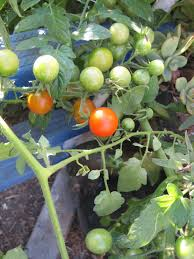 greywater fed tomato plant takes over the world root simple