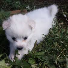 american eskimo dog for sale ontario american eskimo kijiji in british columbia buy sell u0026 save