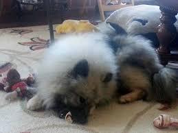 american eskimo dog vs keeshond keeshond samoyed mix puppies dog and cat