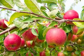 fruit trees sunnyside nursery