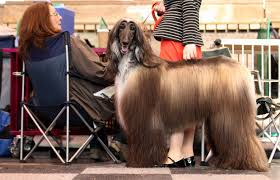 afghan hound ottawa photos crufts 2012 dog show