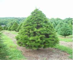 100 best christmas tree farms in boone nc high country news