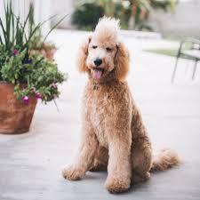 haircutsfordogs poodlemix goldendoodle golden doodle mohawk benelli puppy golden