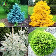 20pcs bag colorado blue spruce tree seeds tree potted bonsai