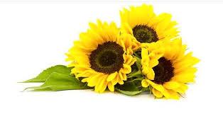 foto wallpaper bunga matahari 12 wallpaper gambar bunga