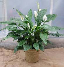 peace lilly peace delivered in ky michler s florist