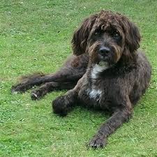 afghan hound poodle cross boxerdoodle boxer poodle mix info puppies care pictures