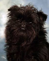 affenpinscher puppies florida tangerine 1 yr old affenpincher what a funny gal she is here are