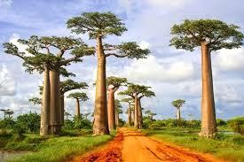 baobab the tree materials for cosmetics blaostudio
